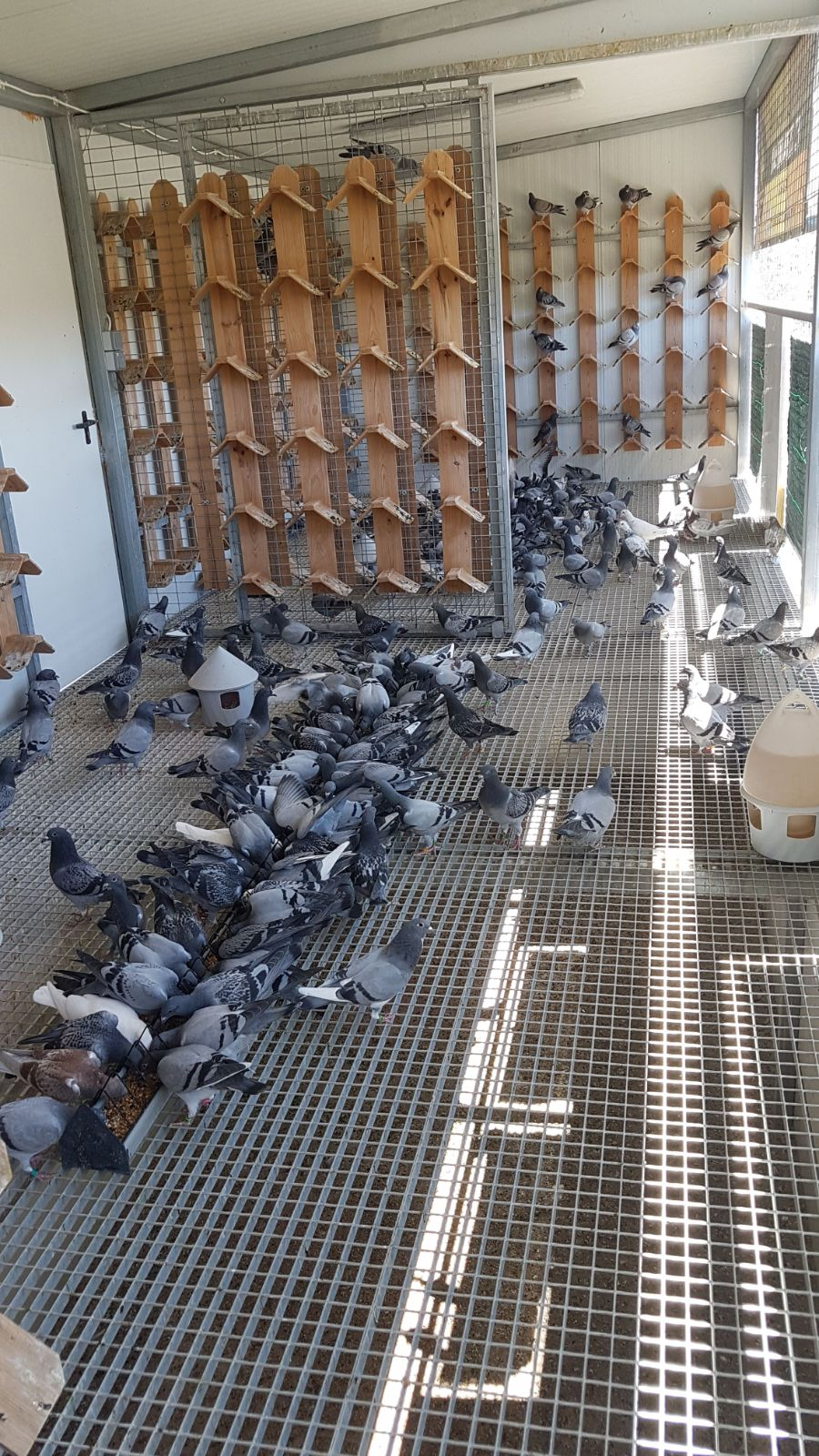 MORE THAN 1,000 PIGEONS IN THE COSTA DEL SOL LOTF PREPARED FOR THE BEST COMPETITION OF THE YEAR