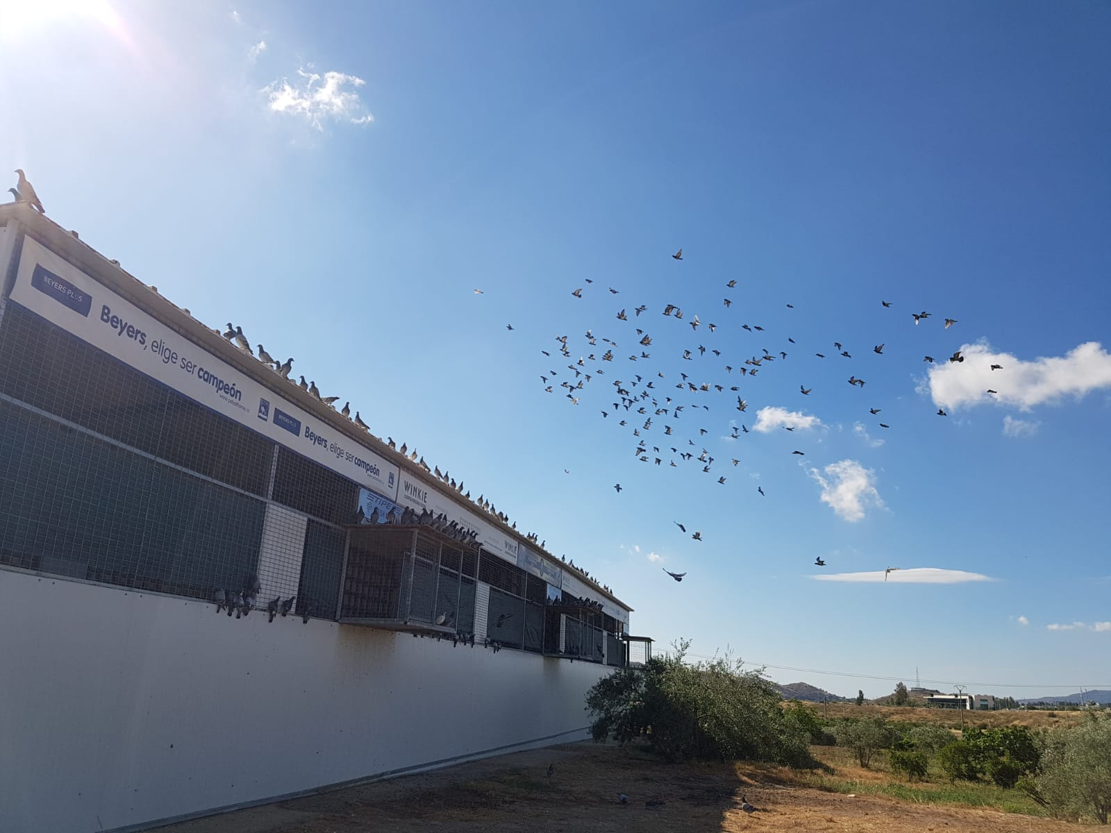 MORE THAN 1,200 PIGEONS ARE ALREADY IN THE COSTA LOFT PREPARED TO LIVE THE COMPETITION OF THE YEAR
